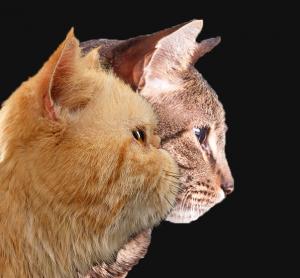 Persian's face vs Standard cats face