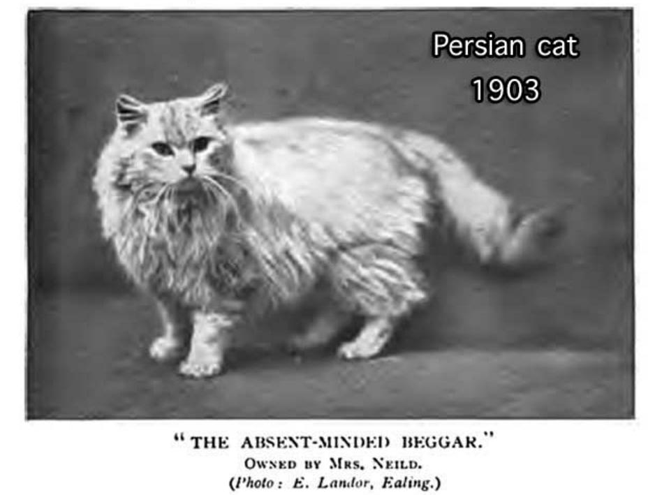 1903 Persian Cat
